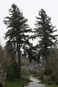 The Panorama Giant, the tree on the left, was saved by the WPRRA and is located on 55A Ave.